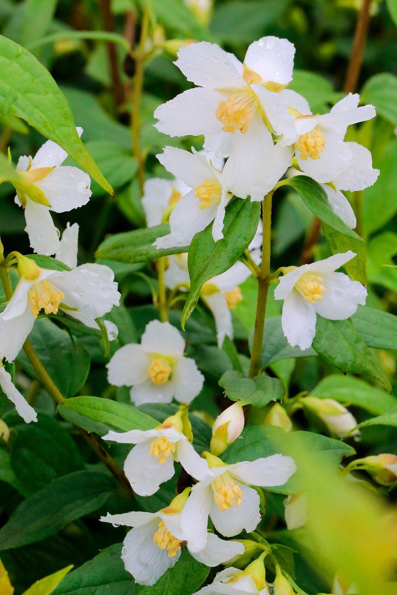 Hecke »Duft Jasmin Avalanche«, Höhe: 30-40 cm, 5 Pflanzen
