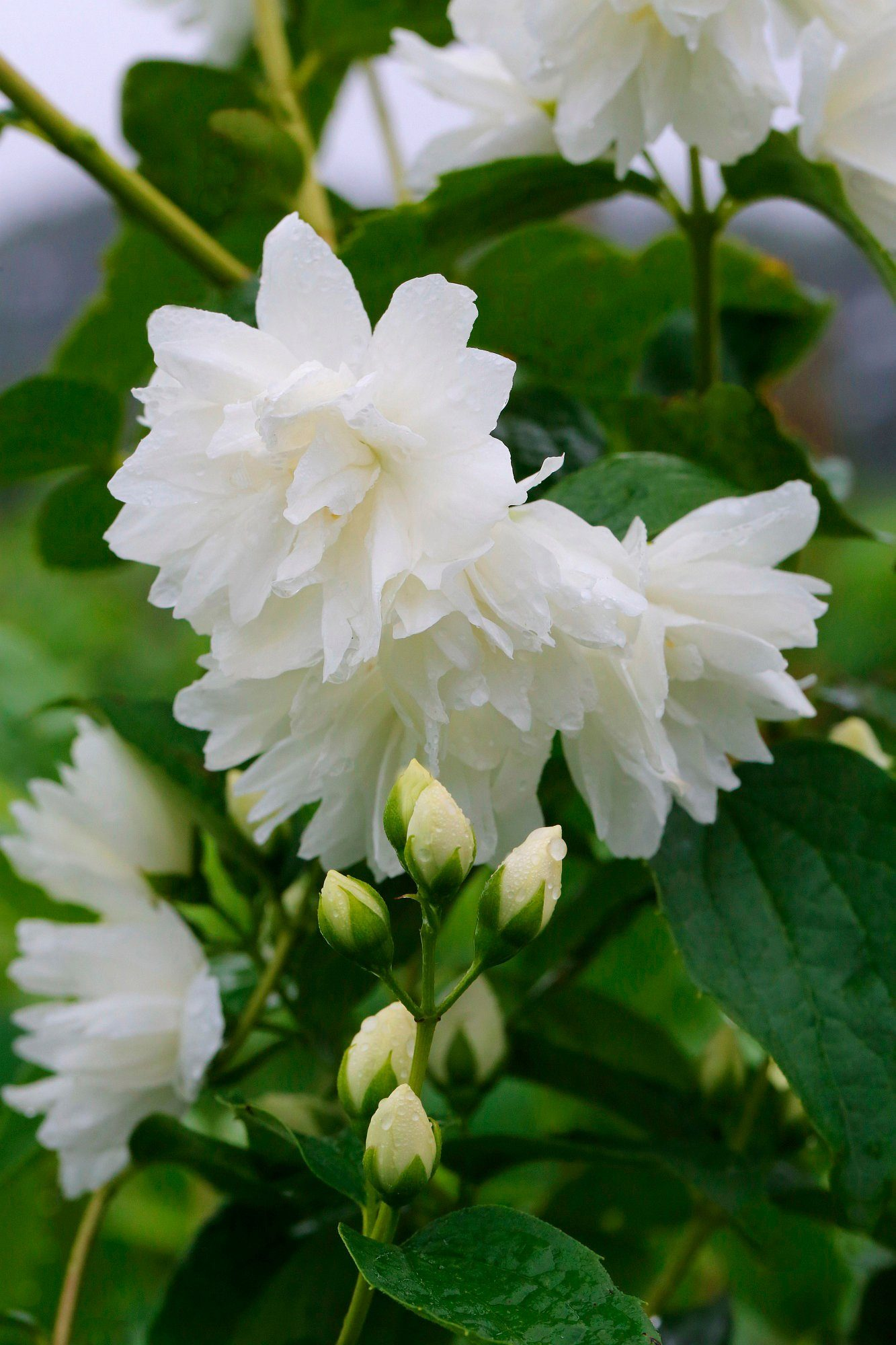 Hecke »Duft Jasmin Schneesturm«, Höhe: 30-40 cm, 5 Pflanzen