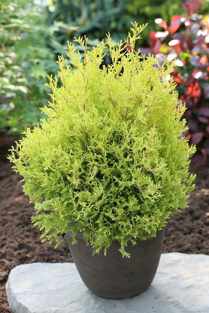 Hecke »Lebensbaum Rheingold«, Höhe: 20-30 cm, 9 Pflanzen