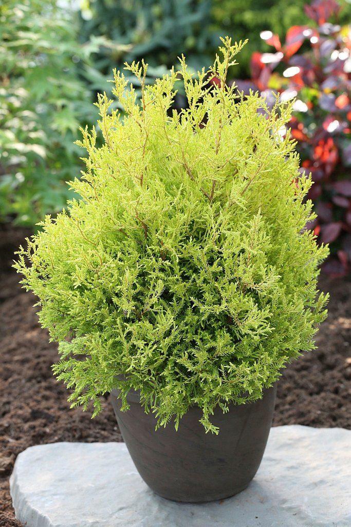 Hecke »Lebensbaum Rheingold«, Höhe: 25-30 cm, 6 Pflanzen