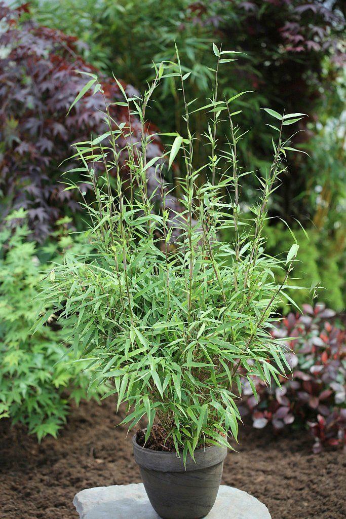 Bambus »Rufa«, Höhe: 60-80 cm, 6 Pflanzen