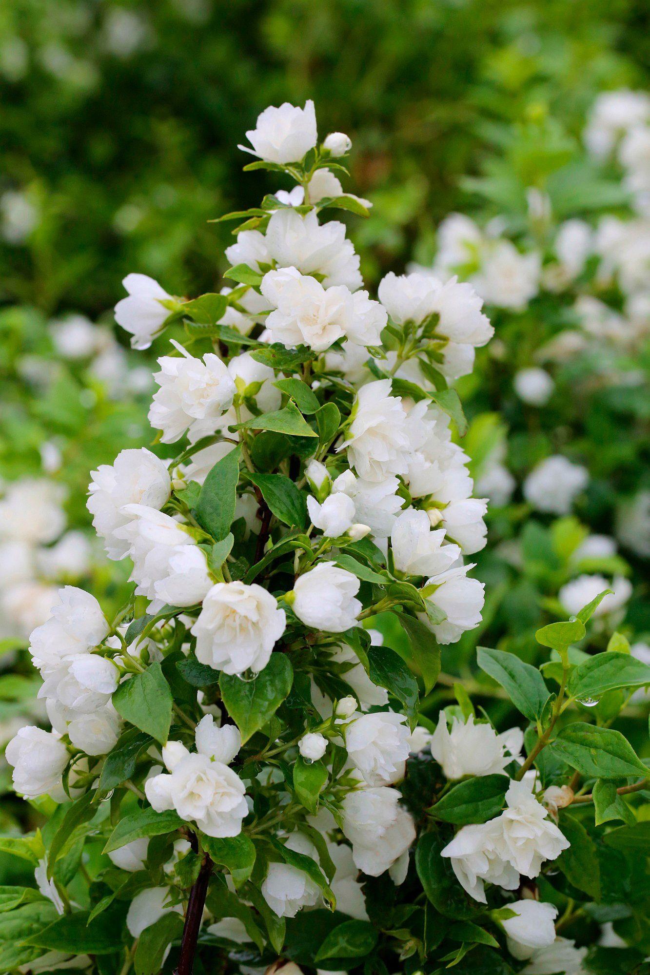 Hecke »Duft Jasmin Snowbelle«, Höhe: 30-40 cm, 3 Pflanzen