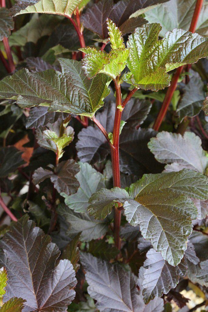 Hecke »Blasenspire Diabolo«, Höhe: 30-40 cm, 5 Pflanzen