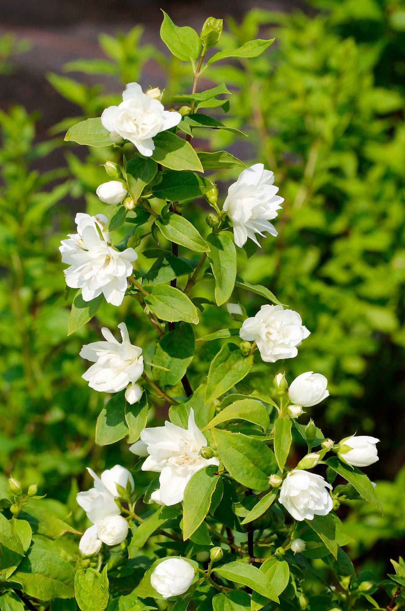 Hecke »Duft Jasmin Girandole«, Höhe: 30-40 cm, 5 Pflanzen