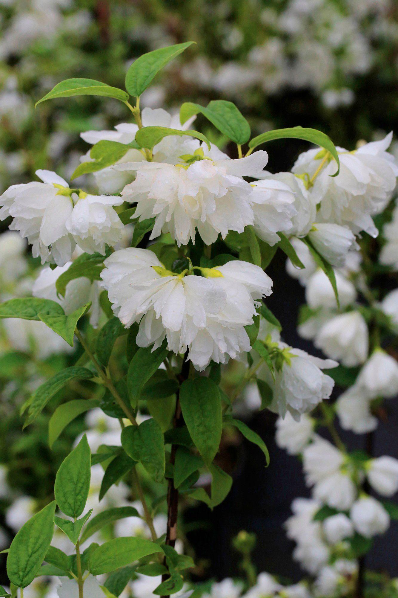 Hecke »Duft Jasmin Snow White Sensation«, Höhe: 30-40 cm, 5 Pflanzen