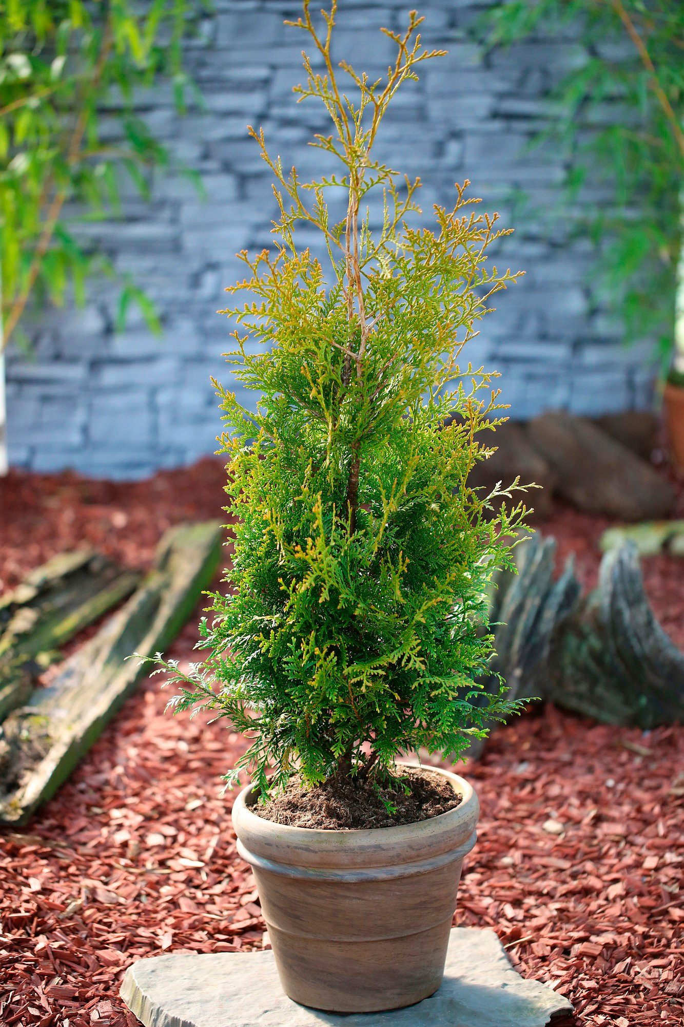 Hecke »Lebensbaum Brabant«, Höhe: 15 cm, 100 Pflanzen