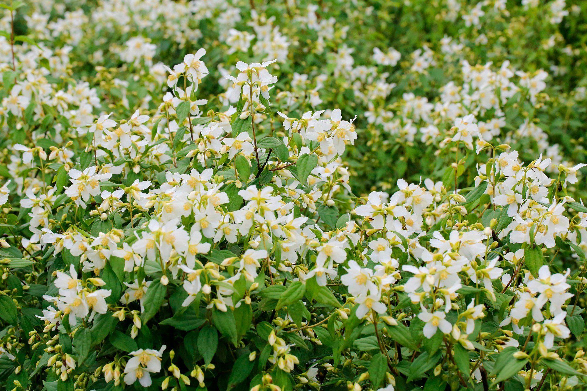 Hecke »Duft Jasmin Dame Blanche«, Höhe: 30-40 cm, 10 Pflanzen
