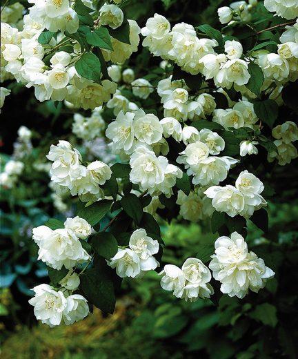 Hecke »Duft Jasmin Karolinka«, Höhe: 30-40 cm, 5 Pflanzen