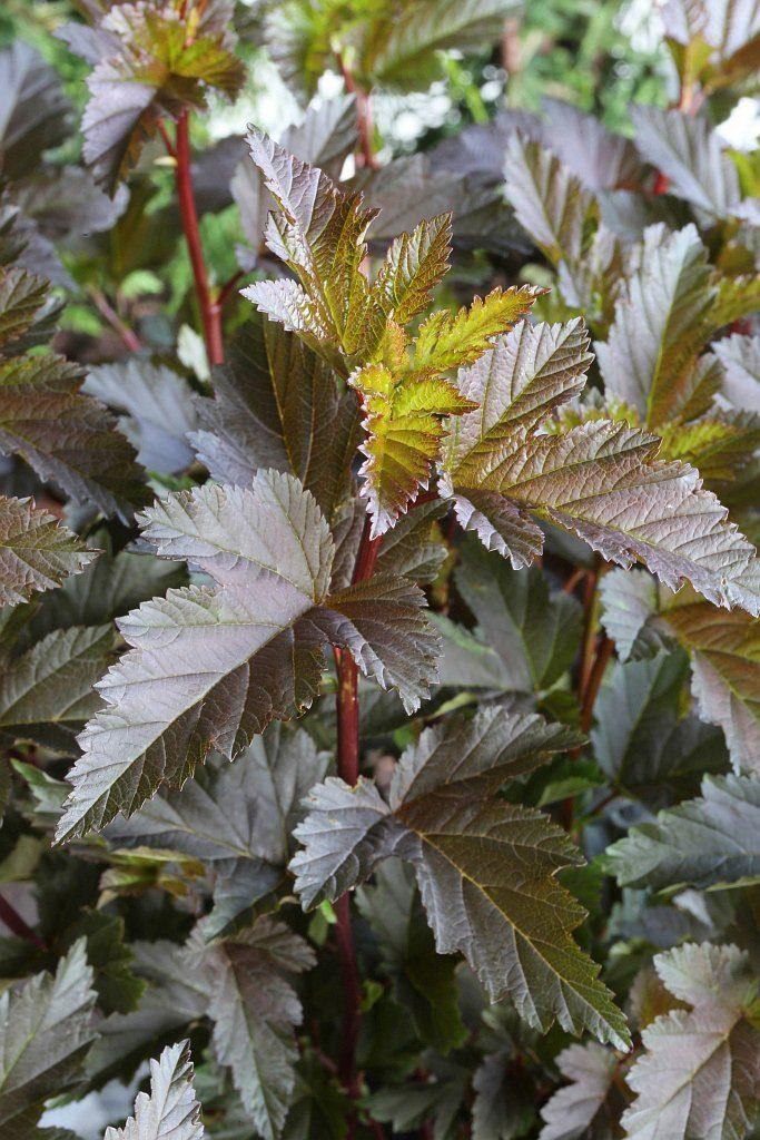 Hecke »Blasenspire Summer Wine«, Höhe: 30-40 cm, 10 Pflanzen