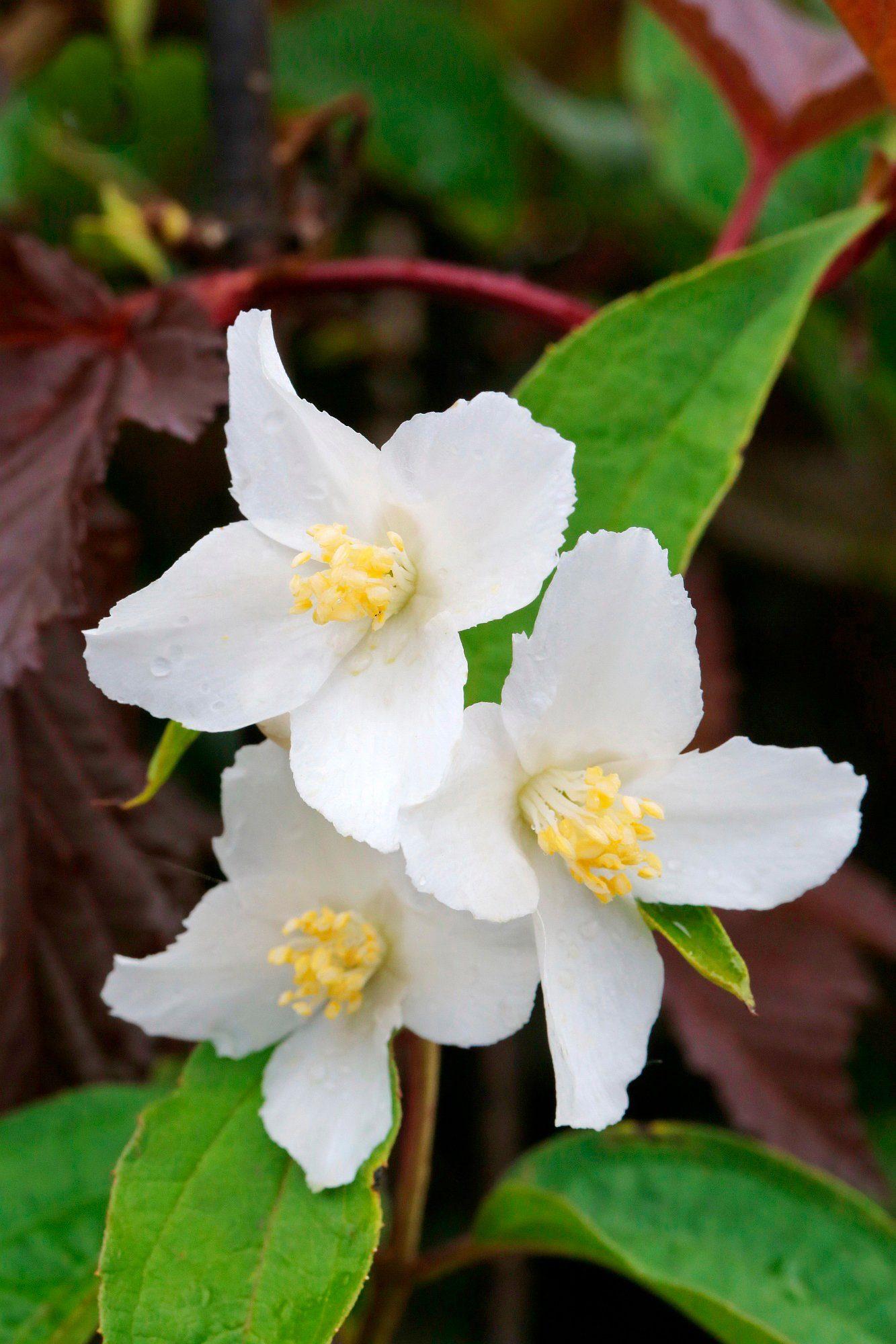 Hecke »Duft Jasmin Silberregen«, Höhe: 30-40 cm, 10 Pflanzen
