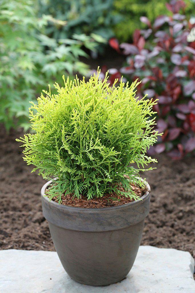 Hecke »Lebensbaum Danica«, Höhe: 20-30 cm, 9 Pflanzen