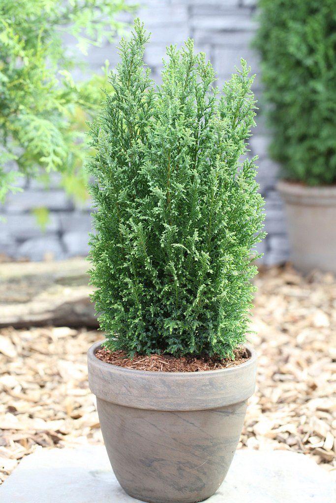 Hecke »Scheinzypresse Ellwoodii«, Höhe: 25-30 cm, 5 Pflanzen