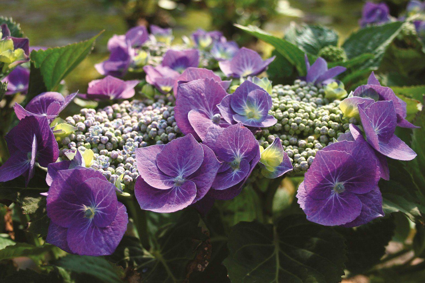 BCM Hortensie »Blaumeise«, Höhe: 30-40 cm, 2 Pflanze