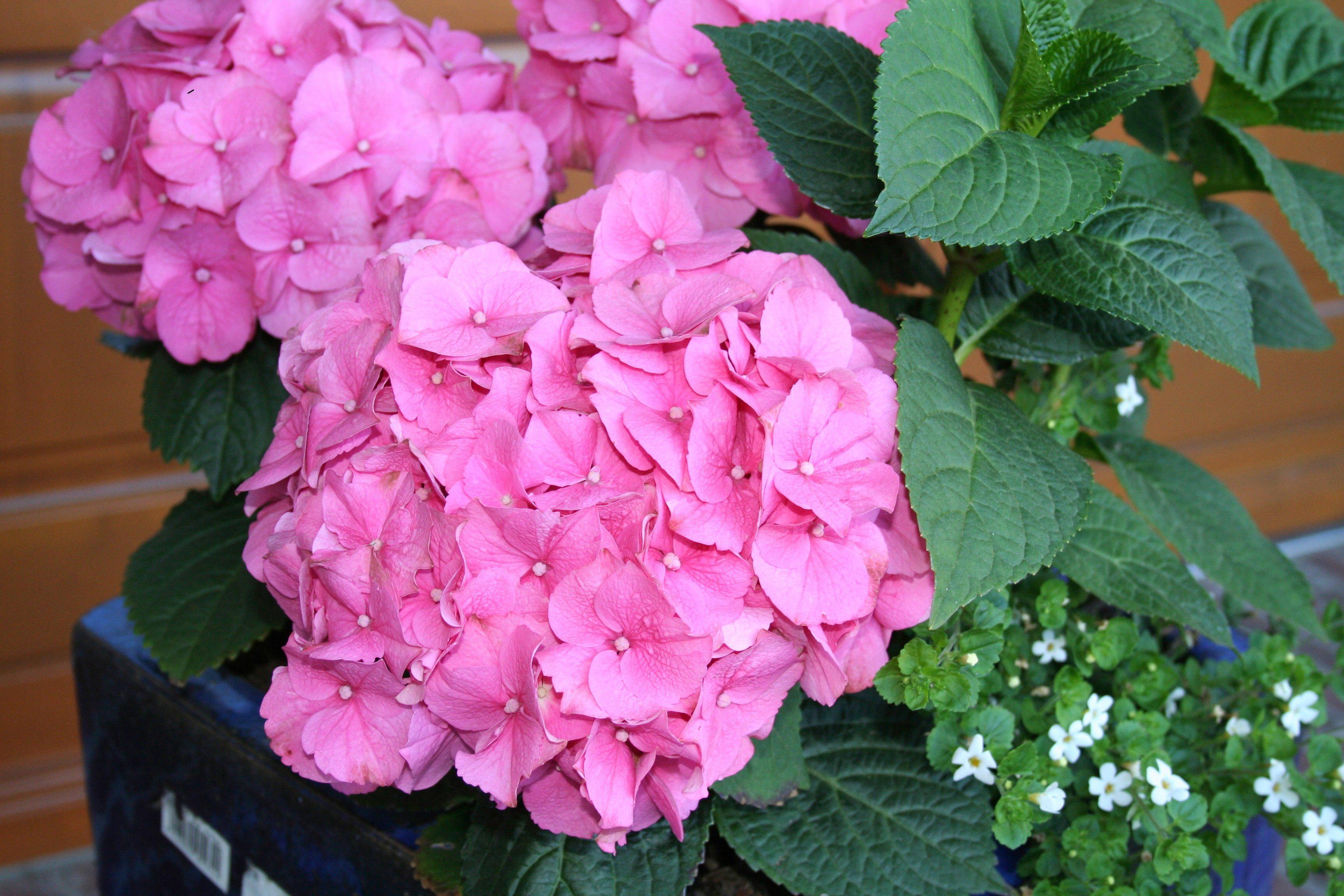 BCM Hortensie »Rosita«, Höhe: 30-40 cm, 2 Pflanze