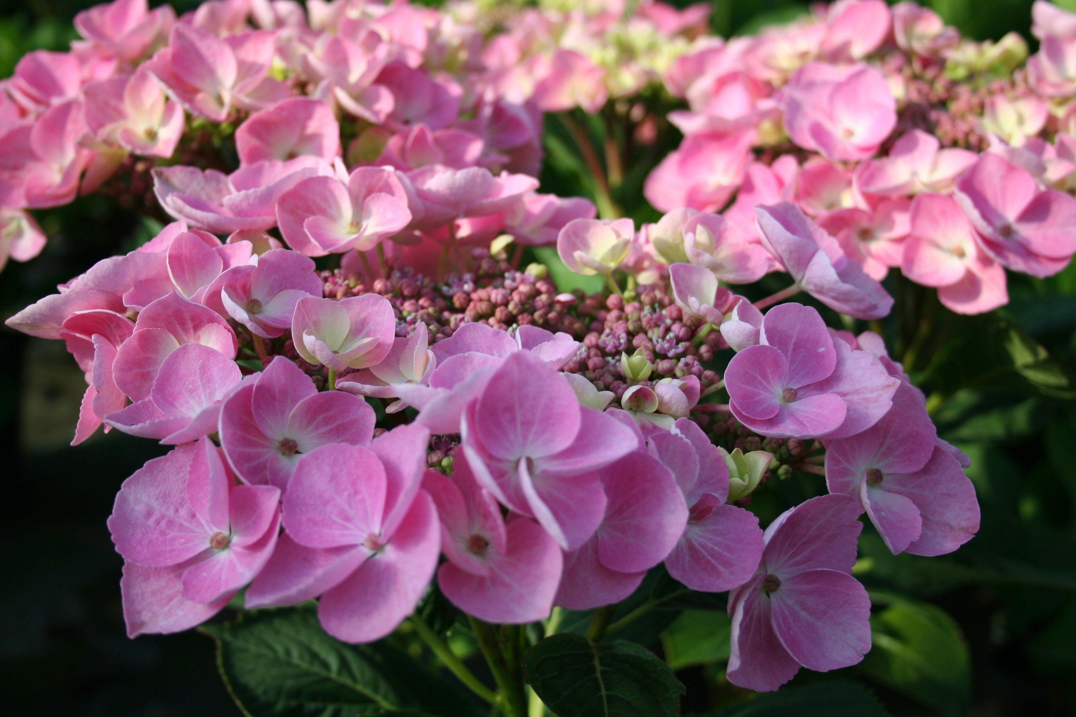 BCM Hortensie »Messalina«, Höhe: 30-40 cm, 1 Pflanze