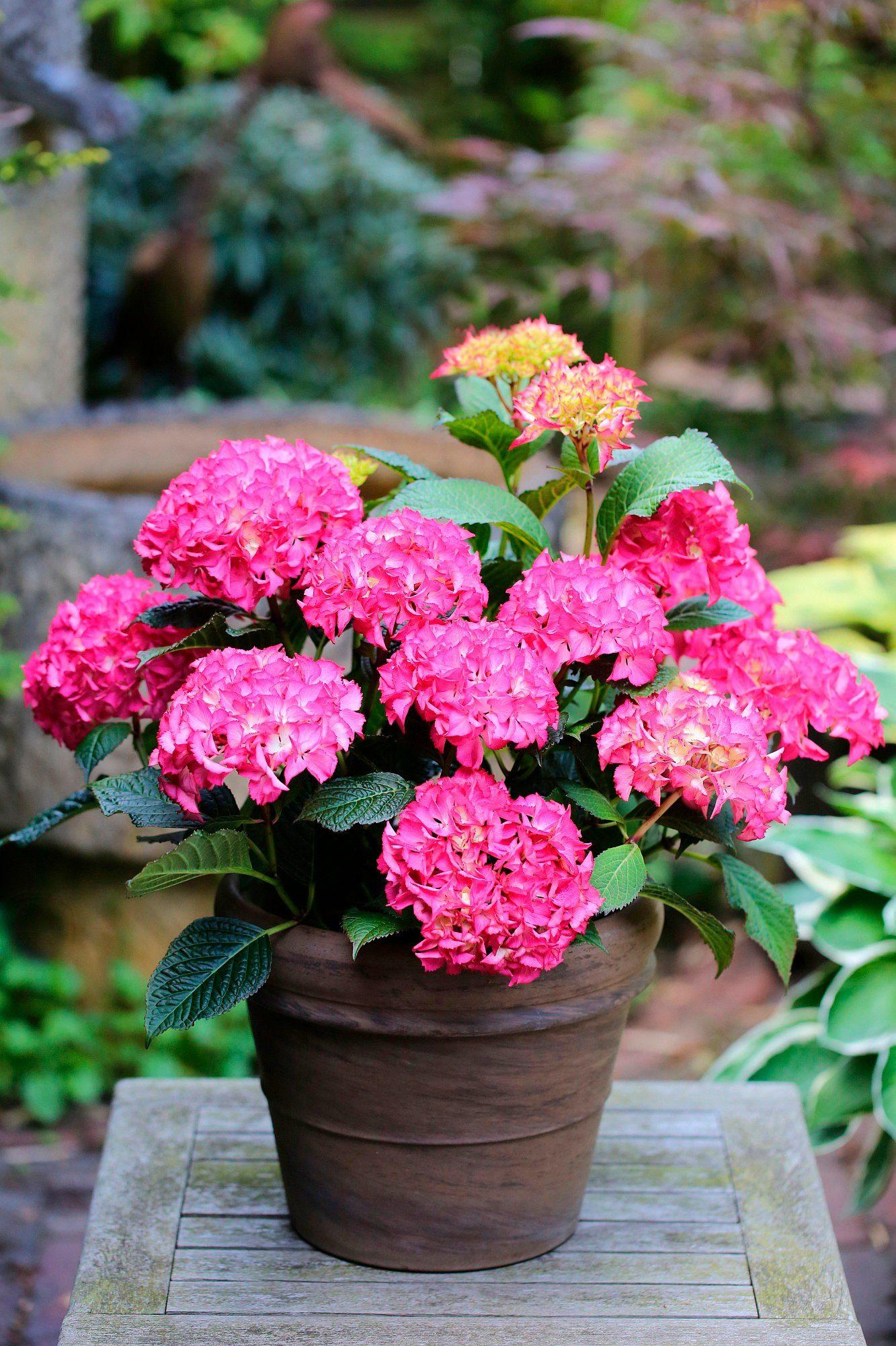 BCM Hortensie »Selma Pink«, Höhe: 30-40 cm, 2 Pflanze