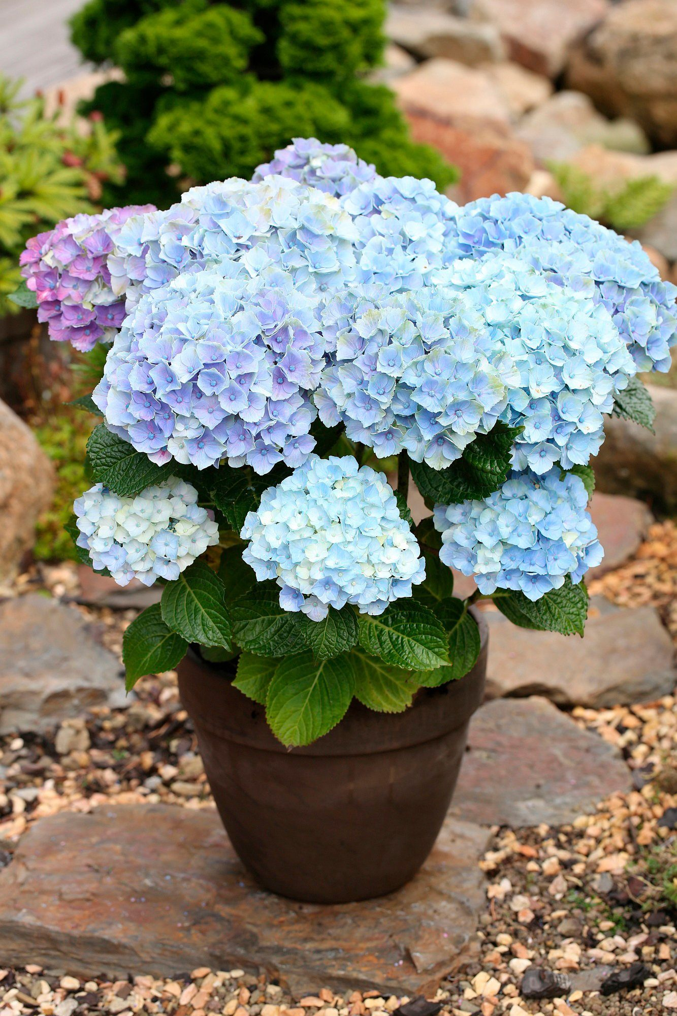 BCM Hortensie »Magical Amethyst Blue«, Höhe: 30-40 cm, 1 Pflanze