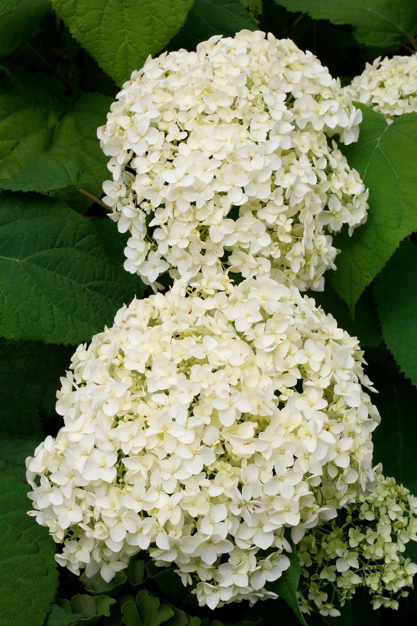BCM Hortensie »Annabell«, Höhe: 50-60 cm, 2 Pflanze