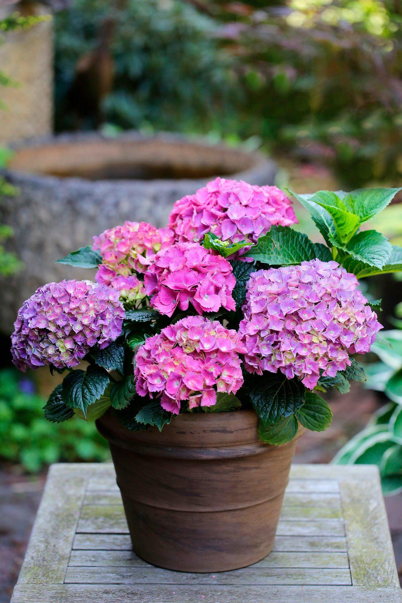 BCM Hortensie »Renate Steiniger«, Höhe: 30-40 cm, 2 Pflanze