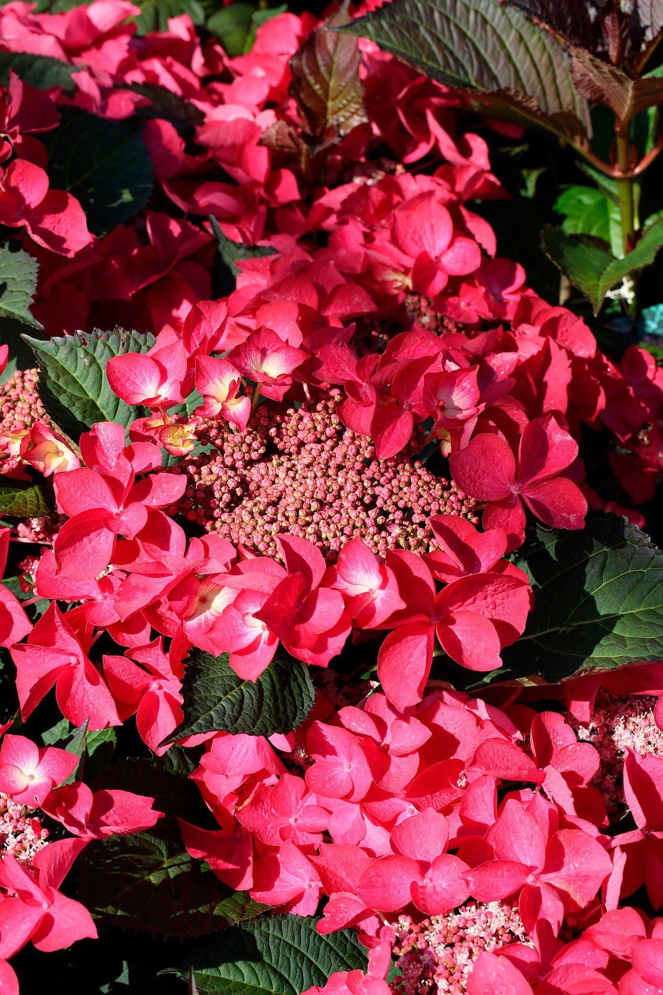 BCM Hortensie »Kardinal«, Höhe: 30-40 cm, 2 Pflanze