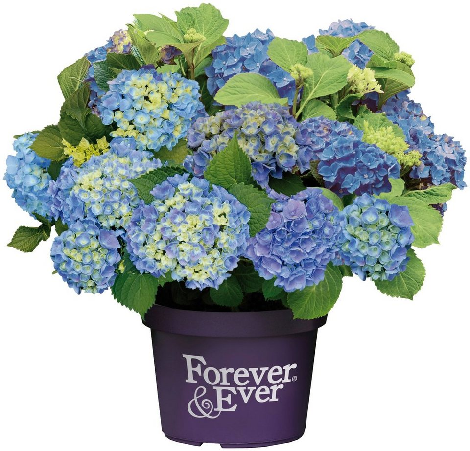 BCM Hortensie »Forever and Ever Blue«, Höhe: 30-40 cm, 1 Pflanze ...