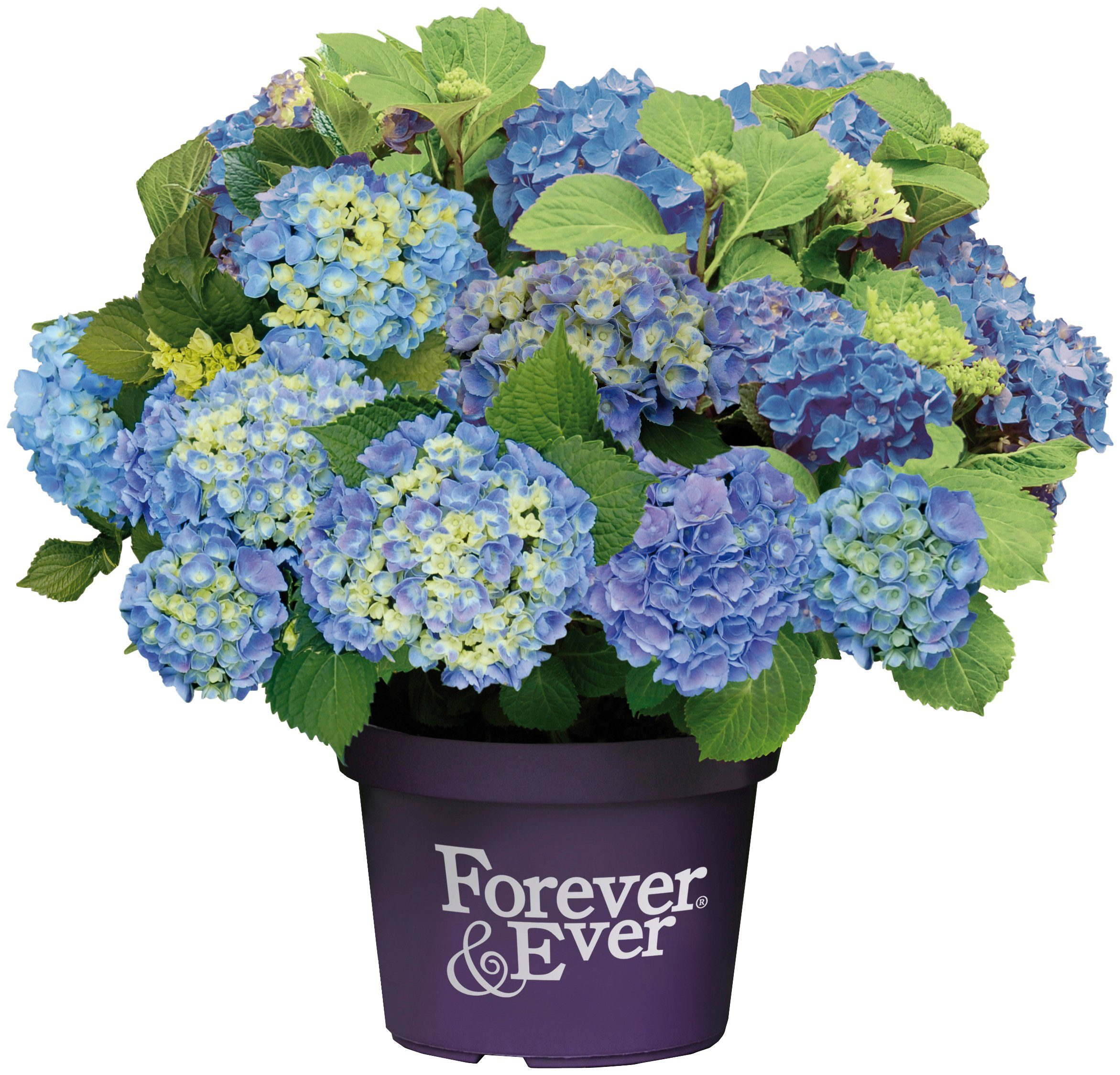 BCM Hortensie »Forever and Ever Blue«, Höhe: 30-40 cm, 1 Pflanze