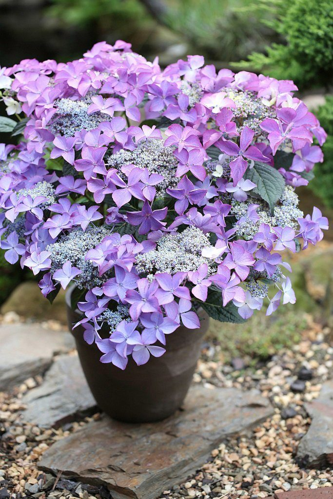 BCM Hortensie »Selina Blau«, Höhe: 30-40 cm, 1 Pflanze