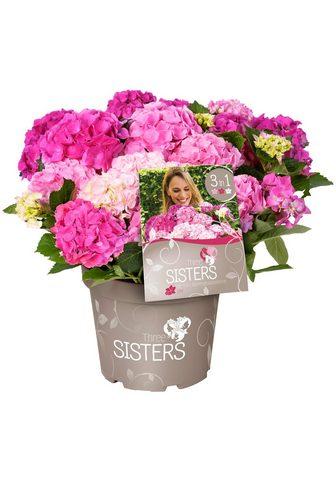 BCM Hortenzija »Three Sisters Pastel Pink ...
