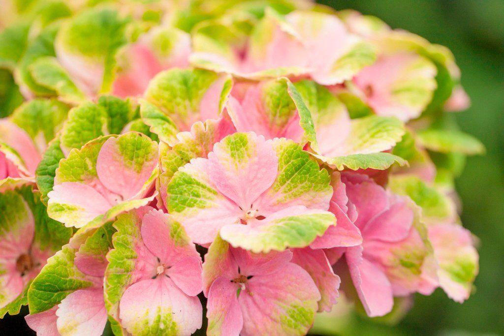 BCM Hortensie »Magical Amethyst Pink«, Höhe: 30-40 cm, 2 Pflanze