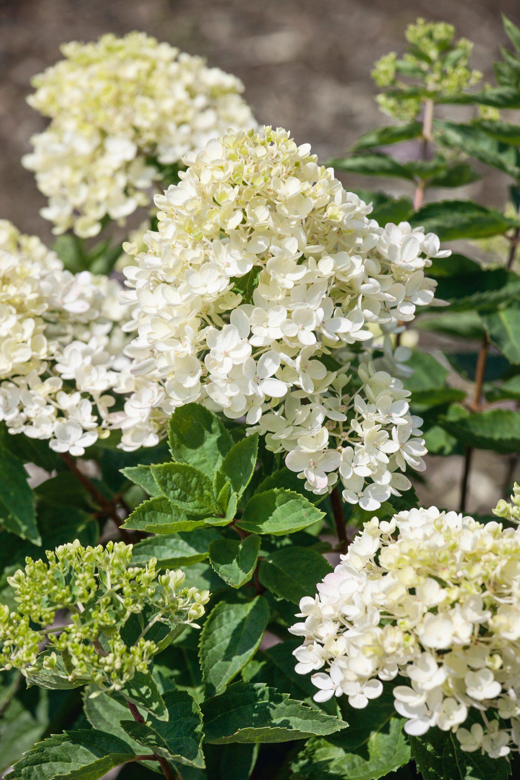 BCM Hortensie »Bombshell«, Höhe: 50-60 cm, 1 Pflanze