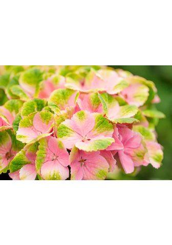 BCM Hortenzija »Magical Amethyst Pink« Höh...