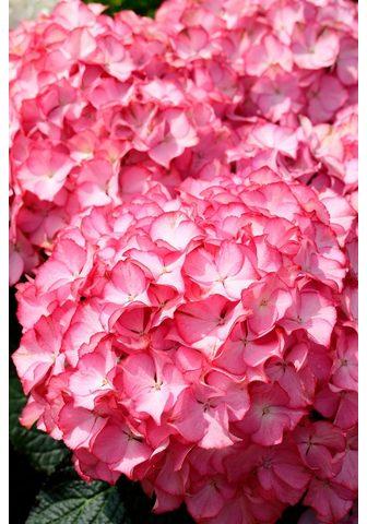 BCM Hortenzija »Pink Annabell« Höhe: 50-60...