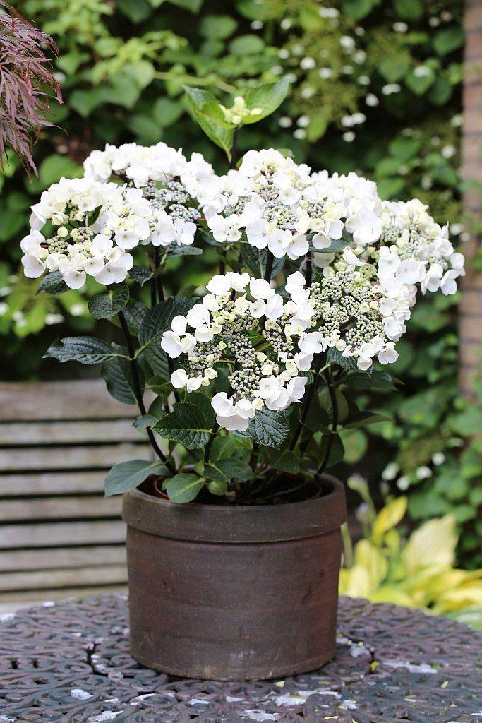 BCM Hortensie »Black Steel«, Höhe: 30-40 cm, 2 Pflanze