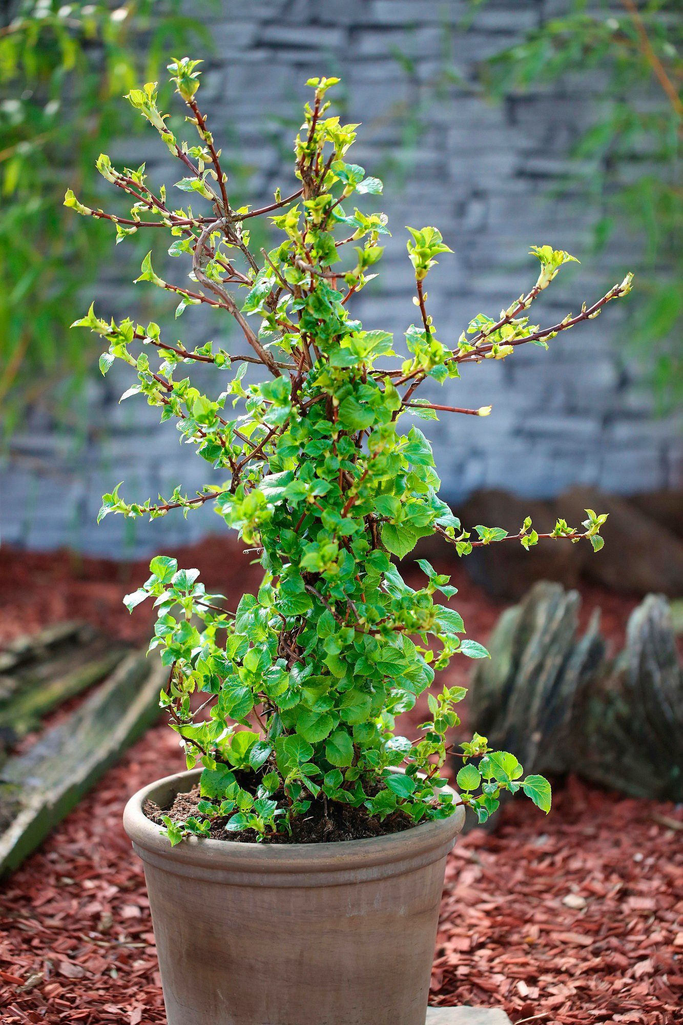 BCM Hortensie »Hydrangea petiolaris«, Höhe: 50-60 cm, 2 Pflanze