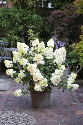 BCM Hortensie »Sundae Fraise«, Höhe: 50-60 cm, 1 Pflanze