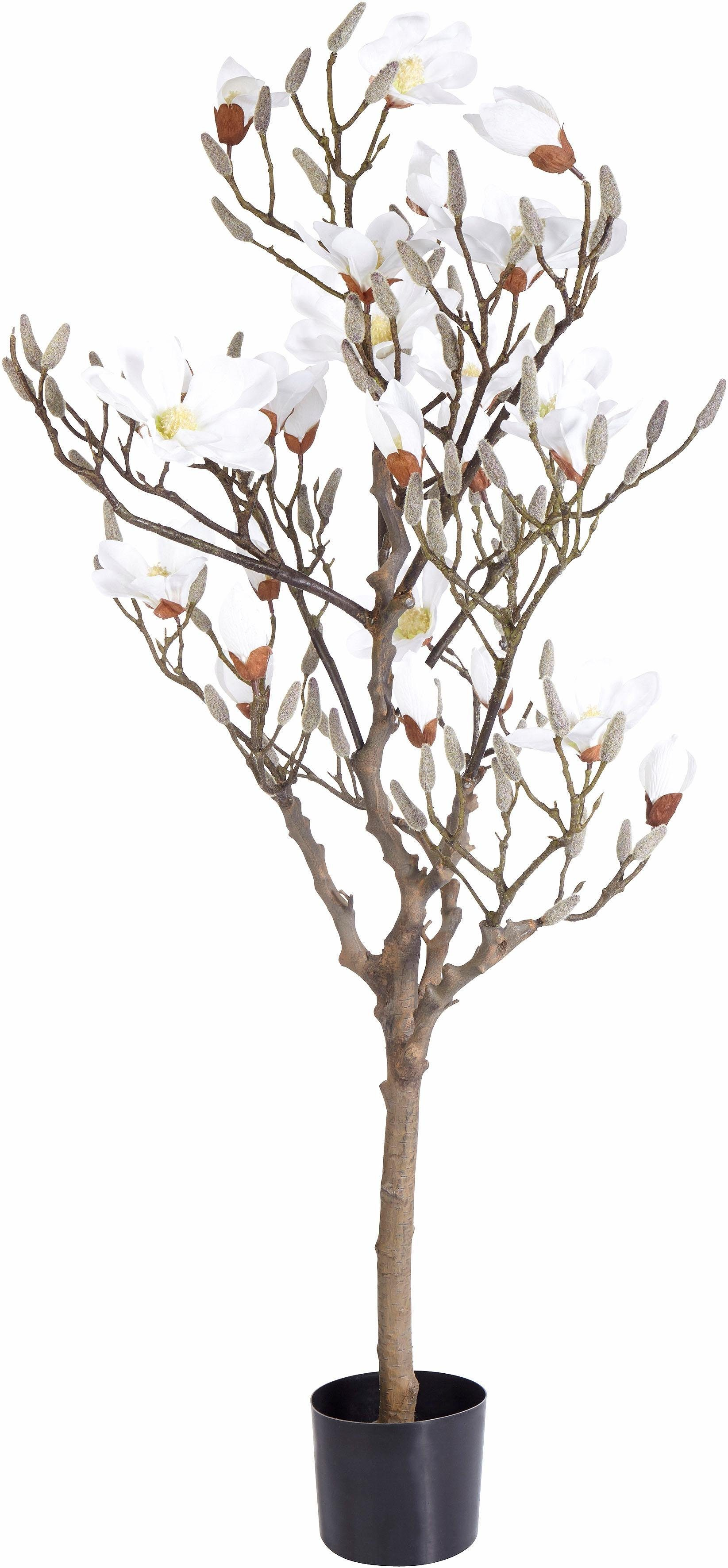 Magnolienbaum 120 cm