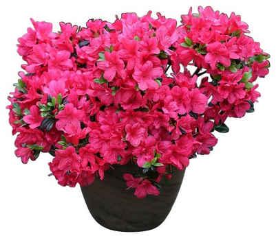 Rhododendron Japanische Azalee Maruschka
