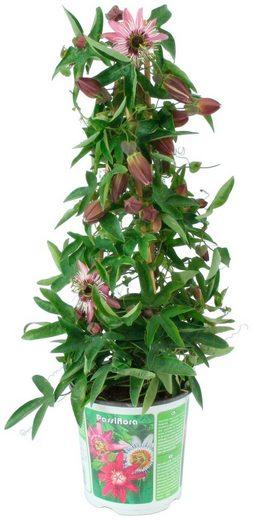 BCM Beet & Balkonpflanze »Passiflora Silly Cow«, Höhe: 70 cm