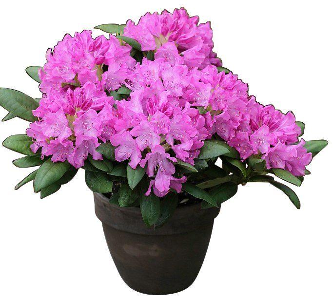 BCM Rhododendron »Roseum Elegans«