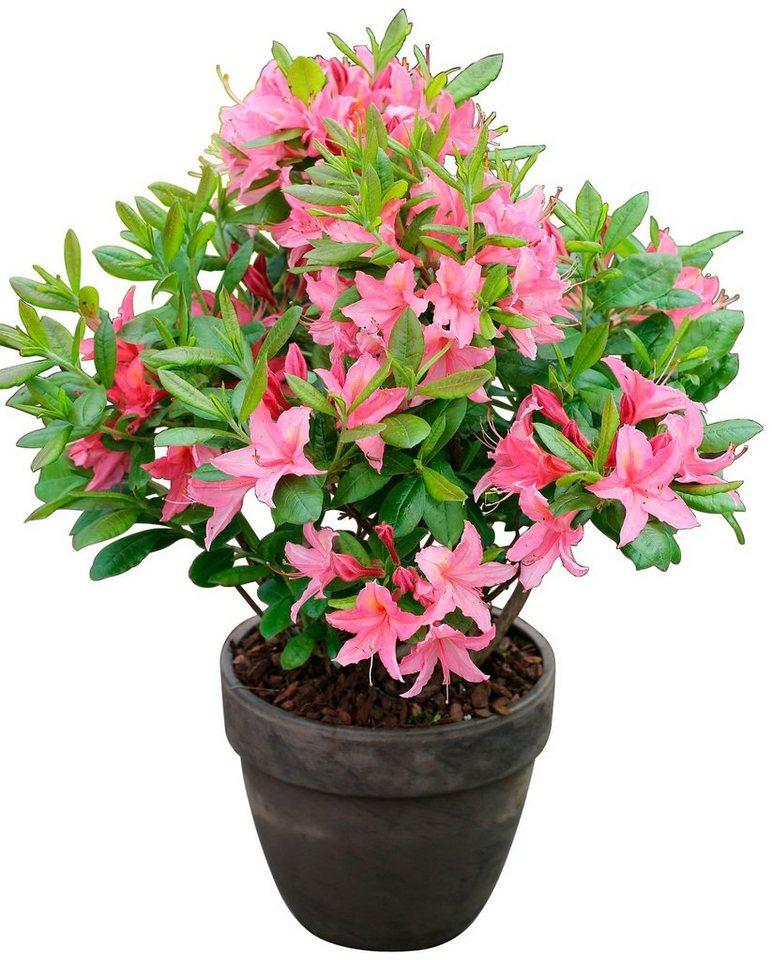 bcm rhododendron jolie madame h he 15 cm 3 pflanzen online kaufen otto. Black Bedroom Furniture Sets. Home Design Ideas