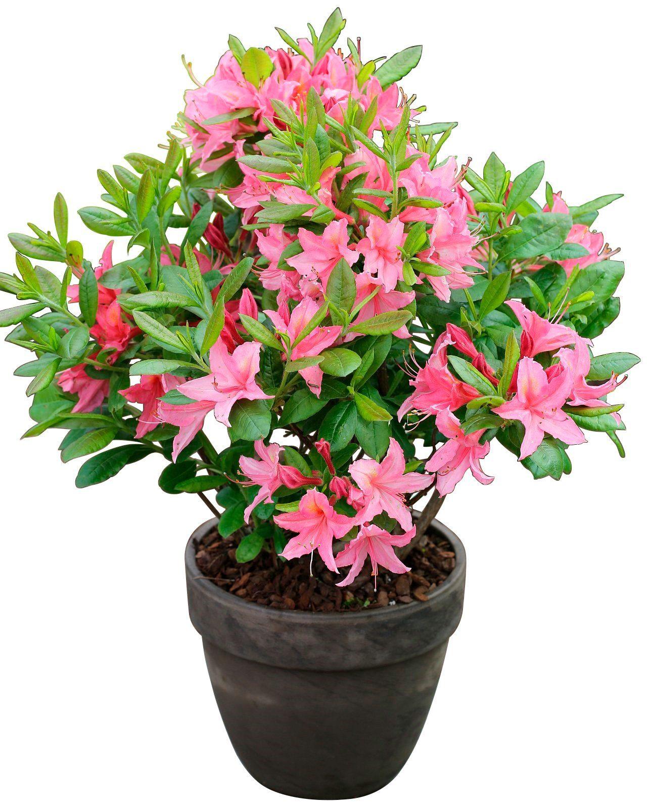 BCM Rhododendron »Jolie Madame«, Höhe: 15 cm, 3 Pflanzen