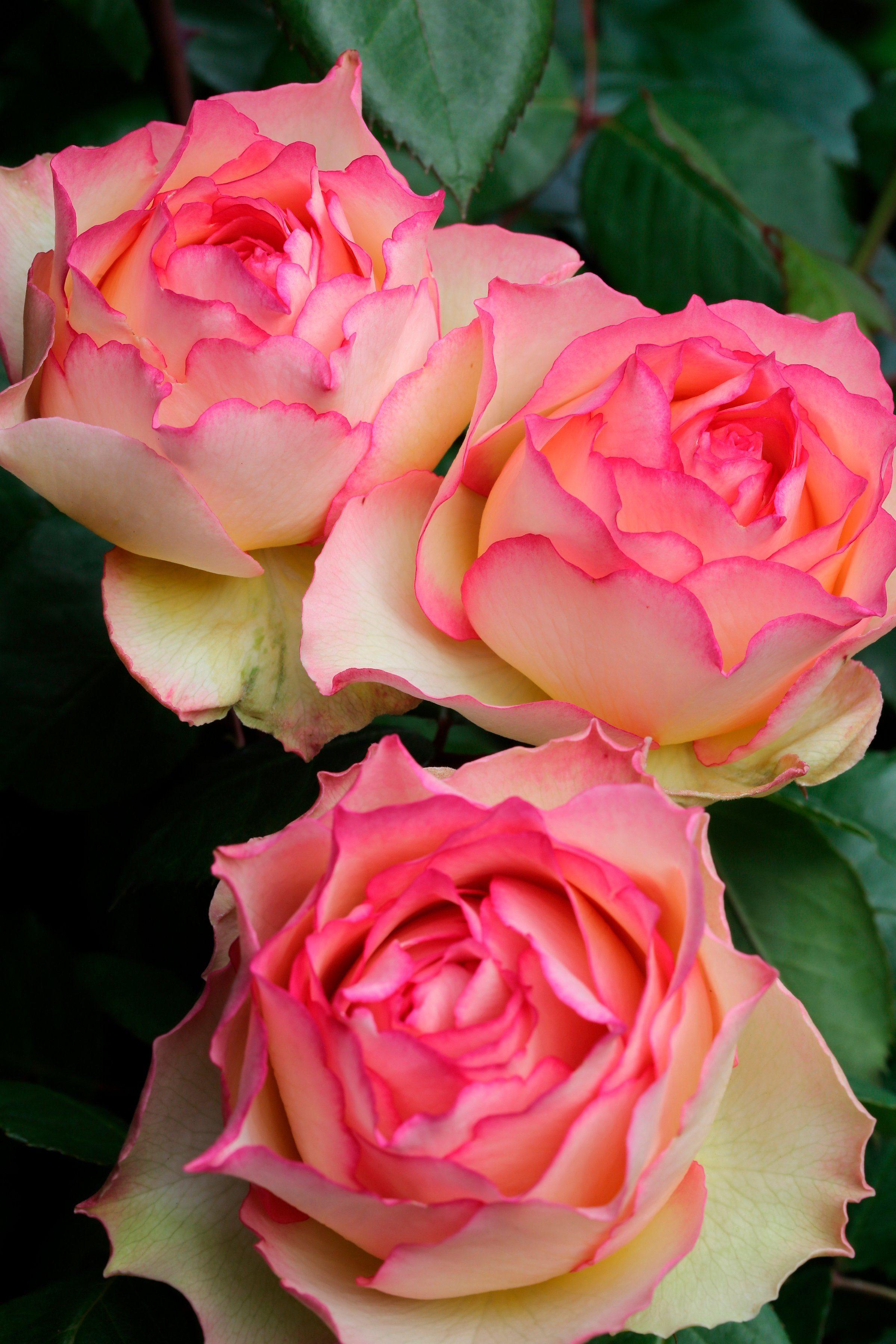 BCM Beetrose »Rosa 'Jalitah ®«, Höhe 30 cm, 1 Pflanze