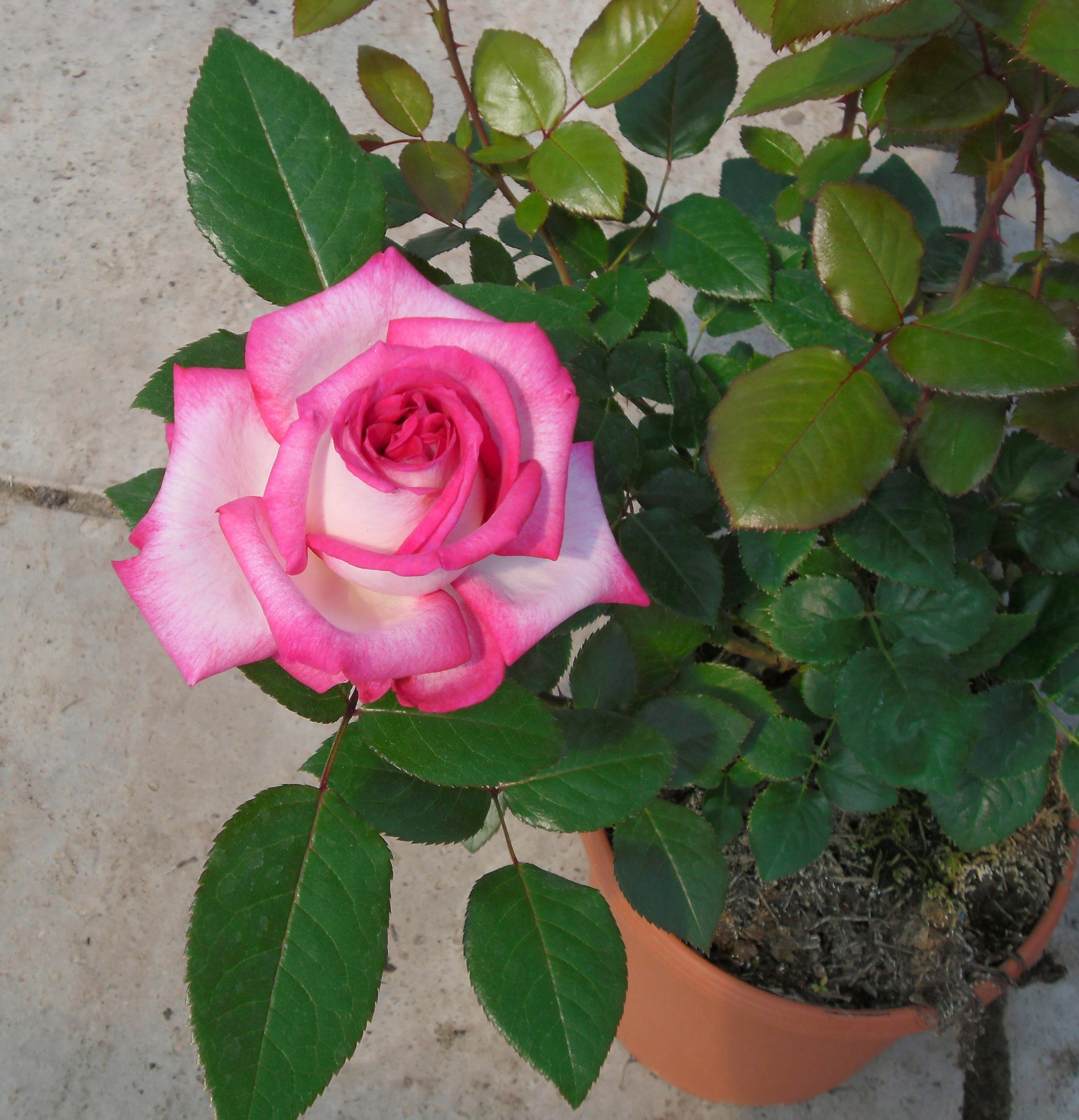 BCM Beetrose »Parfum D'Orleans«, Höhe 30 cm, 3 Pflanzen