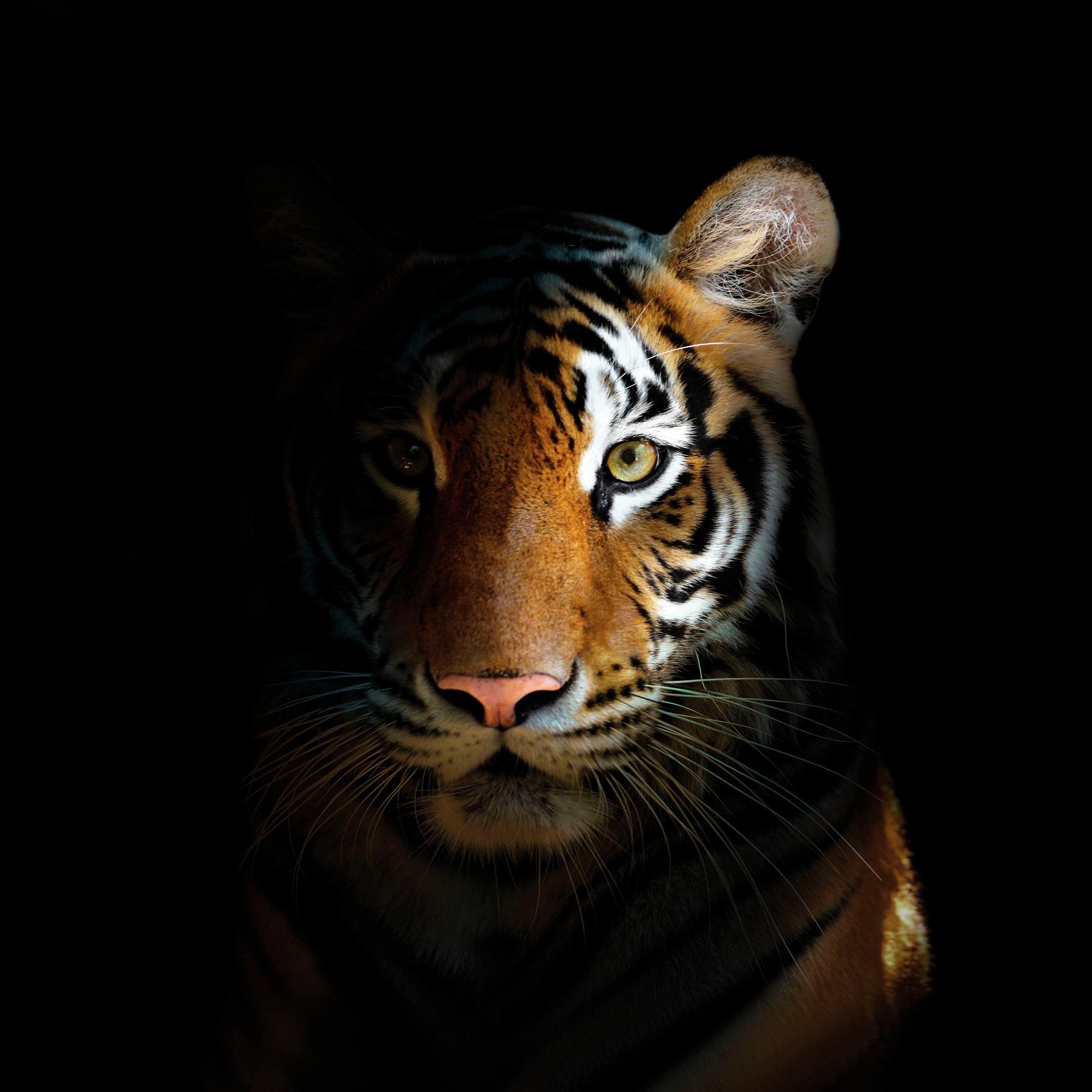 Glasbild »Dark Bengal Tiger « 80/80 cm