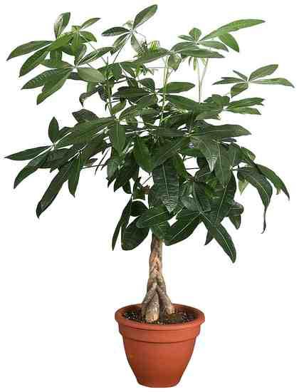 DOMINIK Zimmerpflanze »Glückskastanie«, Höhe: 60 cm, 1 Pflanze