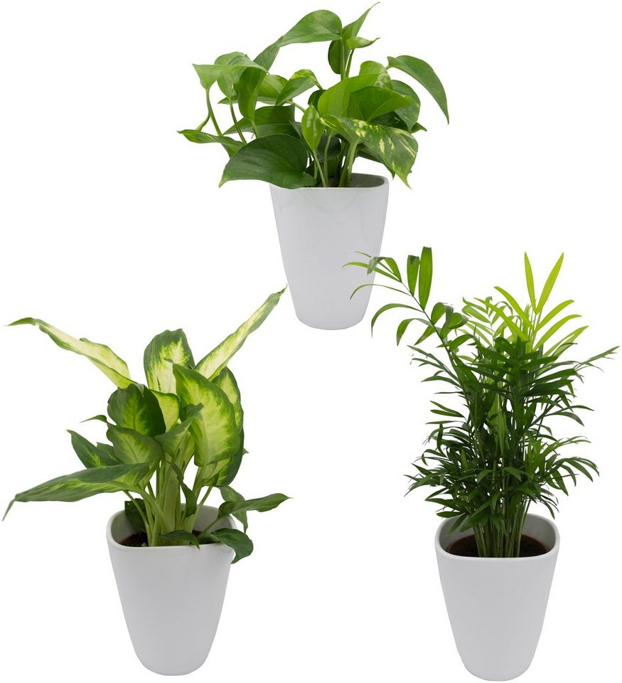 dominik zimmerpflanze palmen set h he 30 cm 3. Black Bedroom Furniture Sets. Home Design Ideas