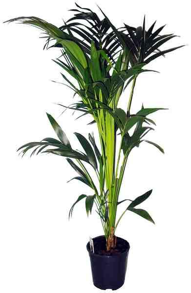 comeback der zimmerpflanzen pflegeleicht und bl hend. Black Bedroom Furniture Sets. Home Design Ideas
