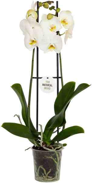 DOMINIK Zimmerpflanze »Schmetterlingsorchidee«, Höhe: 30 cm, 1 Pflanze