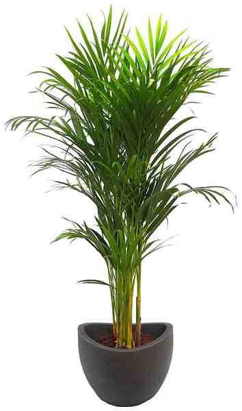 DOMINIK Zimmerpflanze »Goldfruchtpalme«, Höhe: 90 cm, 1 Pflanze im Dekotopf