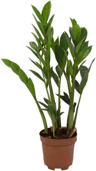 DOMINIK Zimmerpflanze »Zamioculcas«, Höhe: 20 cm, 1 Pflanze